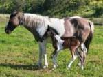 Wusstet Ihr schon, dass Pferde auf dem Mittelfinger laufen?