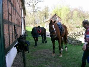 Hannoveraner Freizeitpferde sind auch für Wanderritte geeignet
