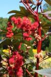 Der giftige Wunderbaum (ricinus communis) – große Gefahr für Pferde
