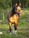 Criollos am Polarkreis – eine robuste Pferderasse im Norden von Schweden