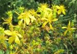 Johanniskraut – Schöne Blüten aber giftig