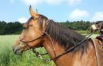 Gebisslose Trensen – Gut für mein Pferd?