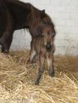 Klein aber fein: Das Amerikanische Miniaturpferd