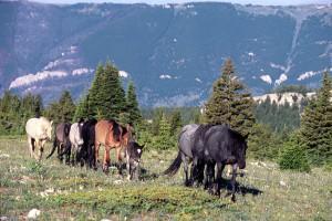 """Der legendäre Mustanghengst """"Cloud"""" mit seiner Herde"""