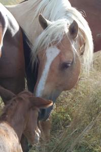 Kurz nach der Geburt stellt der Hengst bereits den ersten Kontakt zum Fohlen her und zeigt sich dabei äußerst vorsichtig und liebevoll.